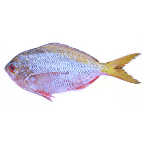 Yellow tail fusilier / Dalagang Bukid